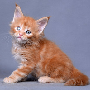 Котята Мейн-Куны на продажу