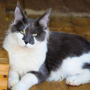 Кошки Мейн-Куны