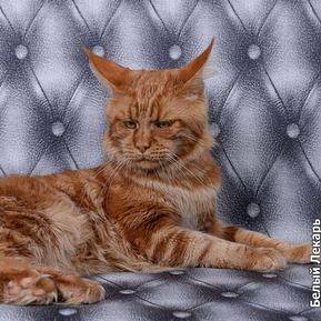 Коты Мейн-Куны