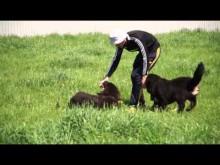 """Embedded thumbnail for Щенки тибетского мастифа - помет """"Г"""""""
