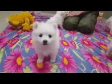 "Embedded thumbnail for Щенки японского шпица помет ""Е"" - дата рождения 28.10.2017 г"